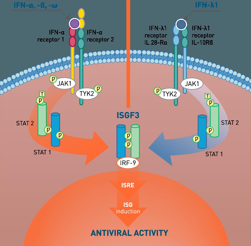 Antiviral Activity