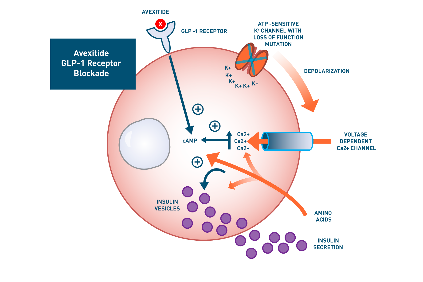 Avexitide Receptor